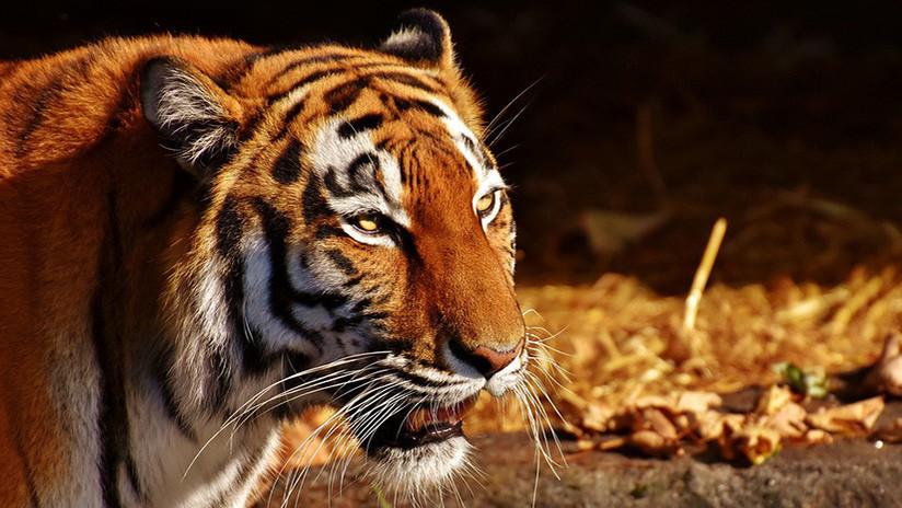 FUERTE FOTO: Un tigre ataca a su cuidadora en un zoo de Rusia