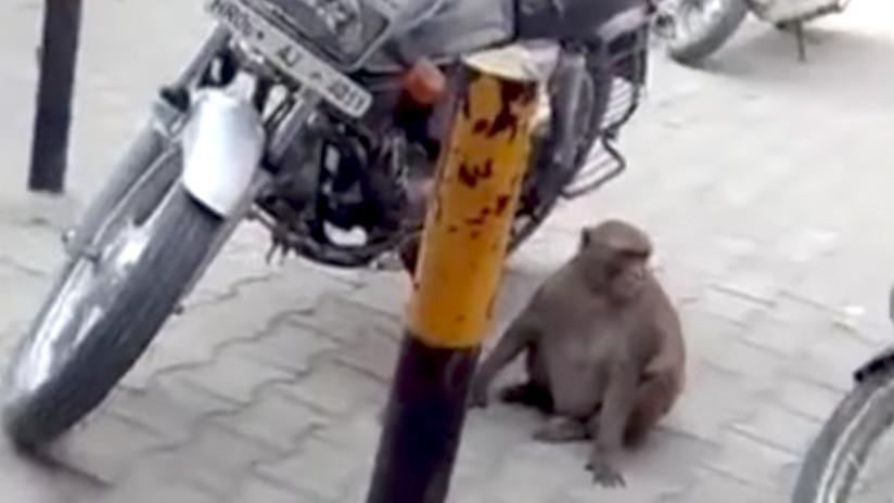 Un mono adicto a la gasolina tiene a motoristas en jaque en la India (VIDEO)