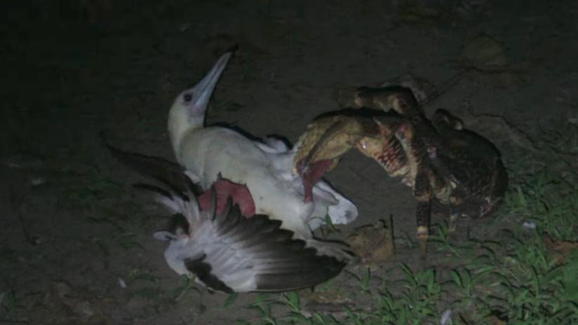 VIDEO: Un cangrejo devora un enorme pájaro marino y revela algo nuevo para la ciencia