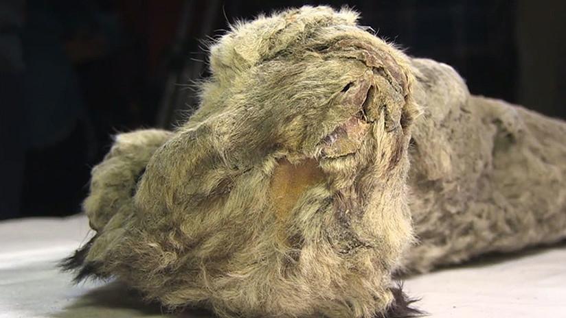 VIDEO: Científicos rusos estudian la posibilidad de 'resucitar' al extinto león de las cavernas