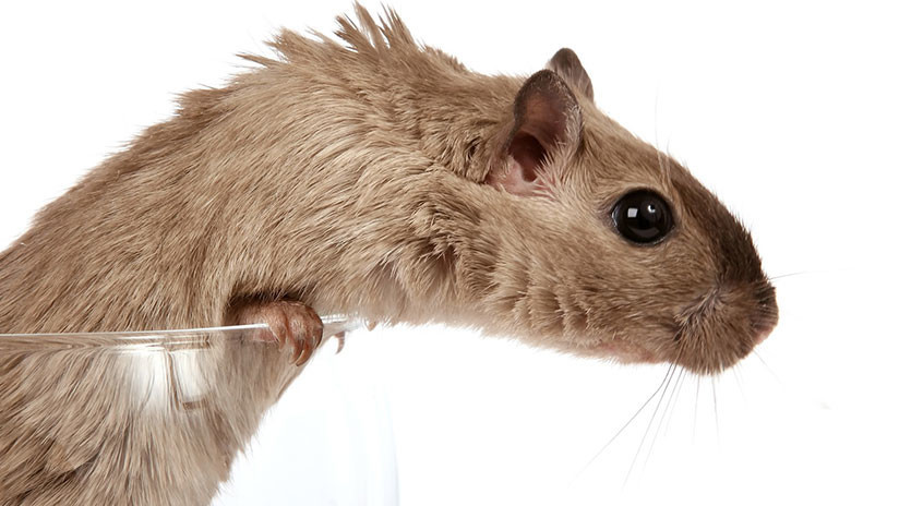 Los ratones 'bebedores' cambian de pareja si la suya es abstemia