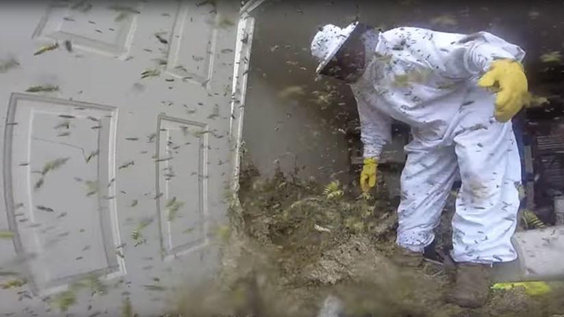 VIDEO DE PESADILLA: Destruye un nido deavispones del tamaño de una nevera