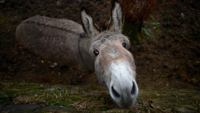 Decenas de burros son torturados y sacrificados en China para producir una medicina 'milagrosa'