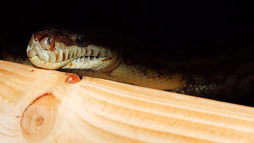 FOTO: Una reunión de amigos en Australia termina en una lección de zoología no deseada