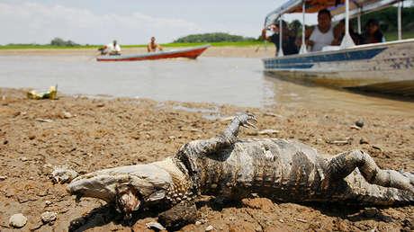 Un cocodrilo muerto yace en un lago desecado que forma parte del sistema del río Amazonas