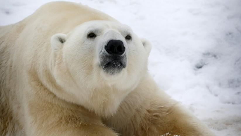"""""""Video desgarrador"""": Graban la muerte lenta y dolorosa de un oso polar hambriento"""