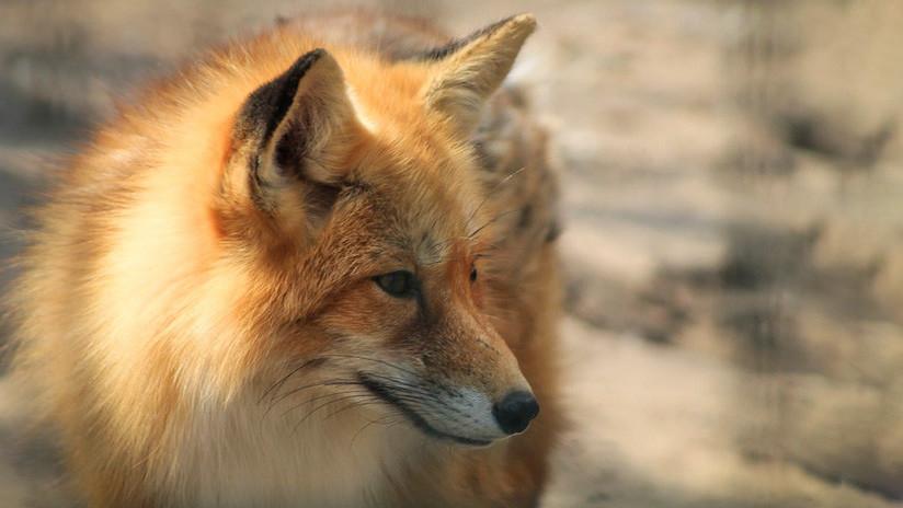 ¿Un animal 'enganchado' a la tecnología? Un zorro juega con un 'spinner' en un zoo ruso (VIDEO)
