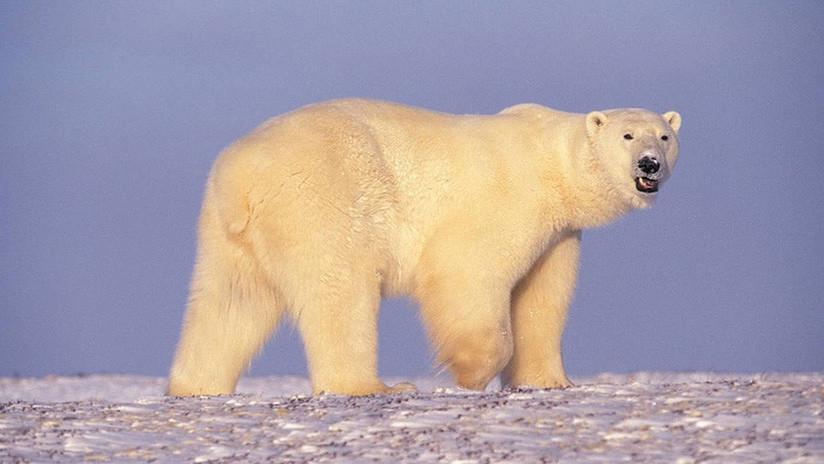 """Ofrecen una explicación alternativa al """"video desgarrador"""" del oso polar al borde de la muerte"""