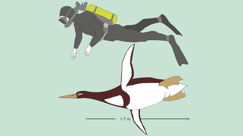 FOTOS: Hallan una especie desconocida de gigante pingüino prehistórico que medía como un hombre