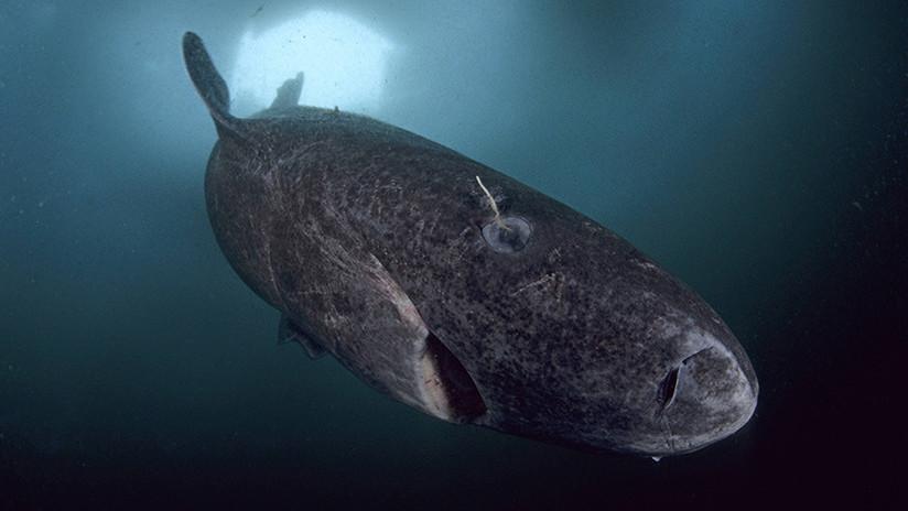 ¿Un tiburón de 512 años? La noticia que se hizo viral y no es del todo cierta