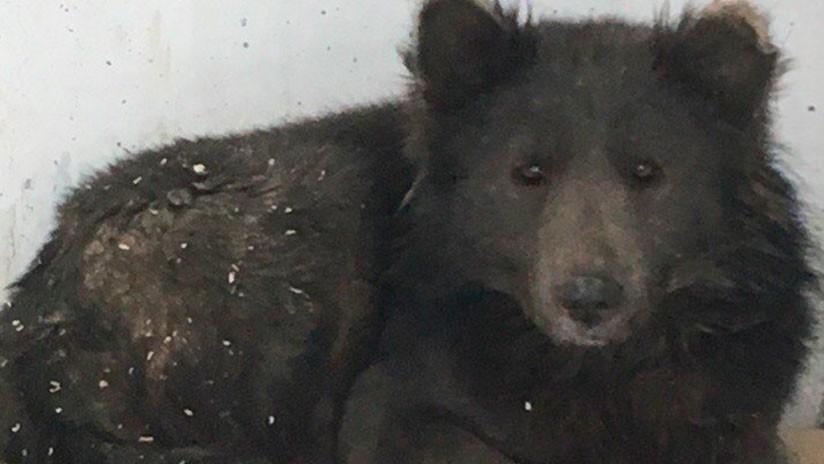 ¿Perro u oso? Un 'perroso' deja boquiabiertos a los rusos (FOTOS)