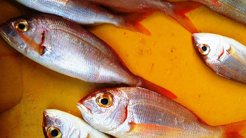 Las orgías de estos peces mexicanos pueden ensordecer a los delfines (audio)