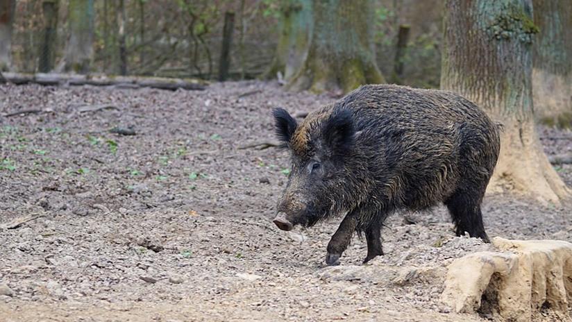 FOTO: Un jabalí polaco domesticado se escapa de su granja y acaba emborrachándose