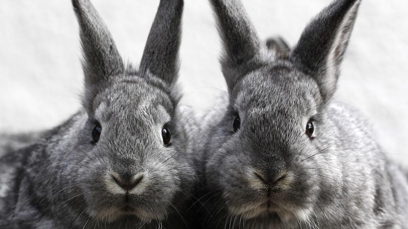 FUERTE VIDEO: El terrible maltrato de conejos criados para lujosos accesorios de piel en Francia