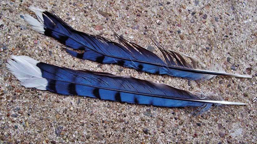 Descubren primera especie de ave híbrida del Amazonas