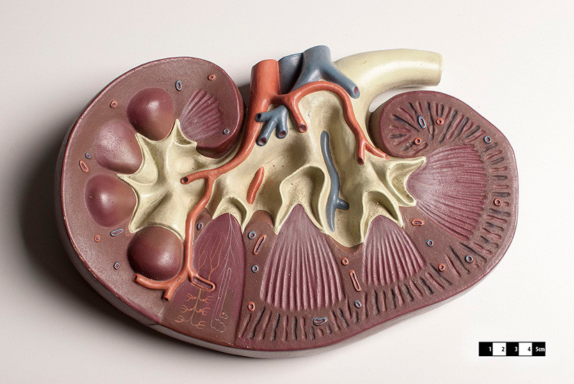 Modelo didáctico de un riñón de mamífero.