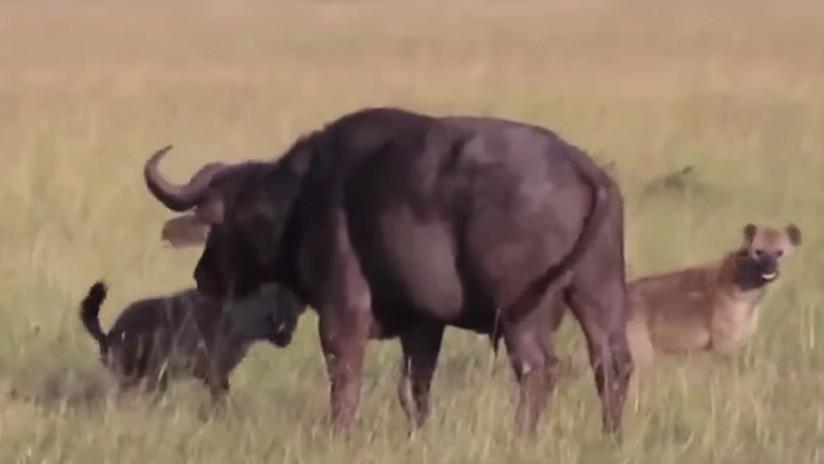 FUERTE VIDEO: Hambrientas hienas le arrancan los testículos a un búfalo y se lo comen vivo