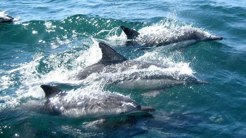 Hallan 88 delfines grises muertos en pocos días en una bahía de Brasil