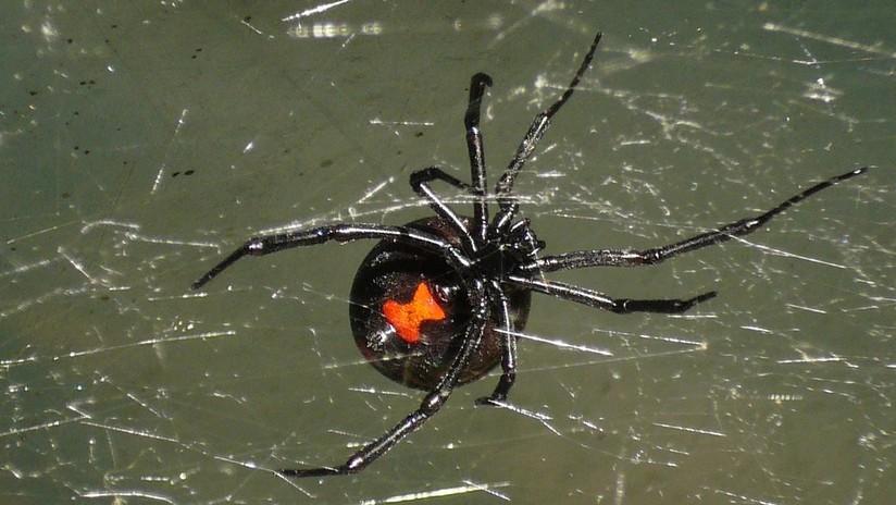 El increíble caso de las arañas macho que buscan hembras jóvenes para no ser devorados (VIDEO)