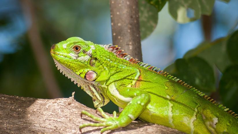 El frío extremo provoca que las iguanas se congelen y caigan de los árboles en Florida (FOTOS)