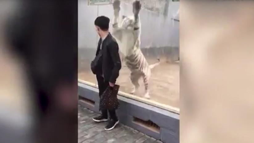 VIDEO: Un enorme tigre blanco 'ataca' a un visitante de un zoológico en China