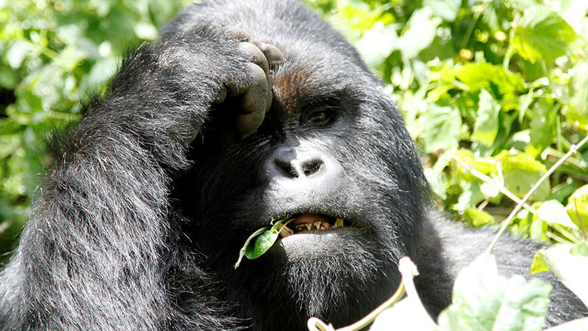 """""""Piensa que los gorilas pueden oírlo"""": Una historia falsa sobre Trump es creída por muchos en EE.UU."""