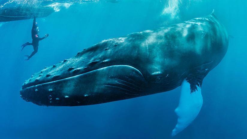 VIDEO: Una ballena salva de un tiburón a una buceadora en el océano Pacífico