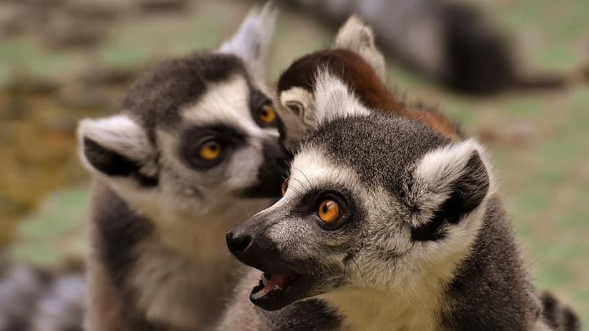 Video: Un grupo de lémures rebeldes ataca a mordiscos a un reportero de la BBC que intenta filmarles