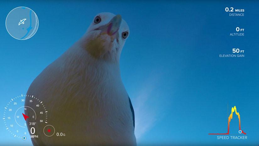 VIDEO: Una gaviota robó una GoPro y esta es su sorprendente grabación