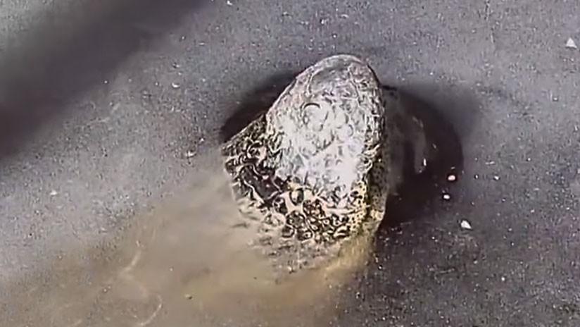 Impactante video: Caimanes incrustados en el hielo 'se descongelan' y salen como si nada del agua