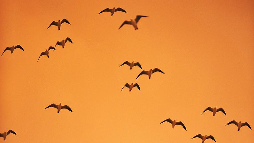 Rapaces e inteligentes: Las aves de rapiña australianas han aprendido a usar el fuego como 'arma'