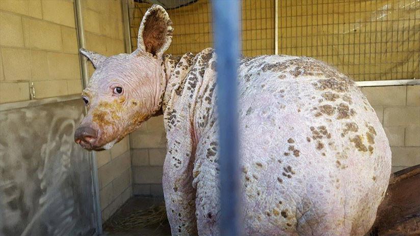 Revelan el origen del extraño animal calvo hallado en California (FOTOS)