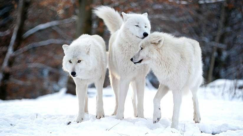 Una cruel batalla entre lobas que defienden con fiereza a sus crías
