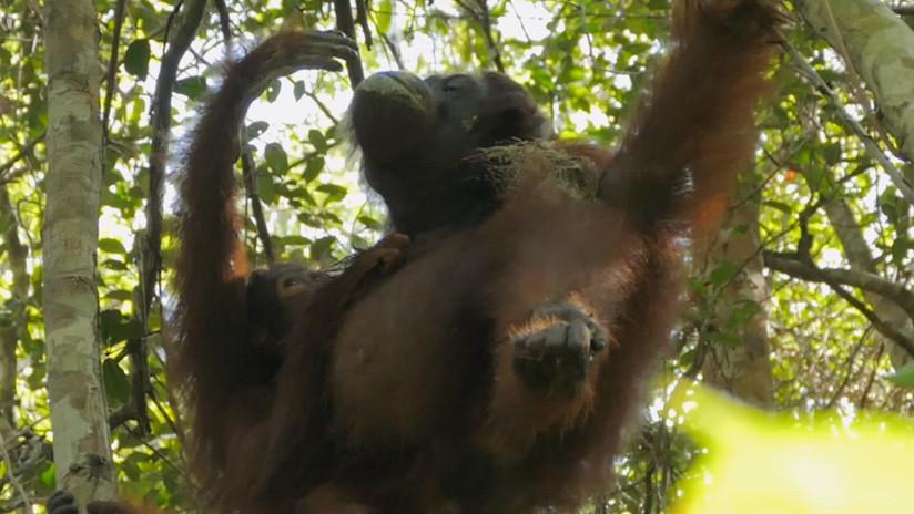 ¡Igual que los humanos! Los orangutanes hacen 'medicamentos' para aliviarse el dolor (VIDEO)