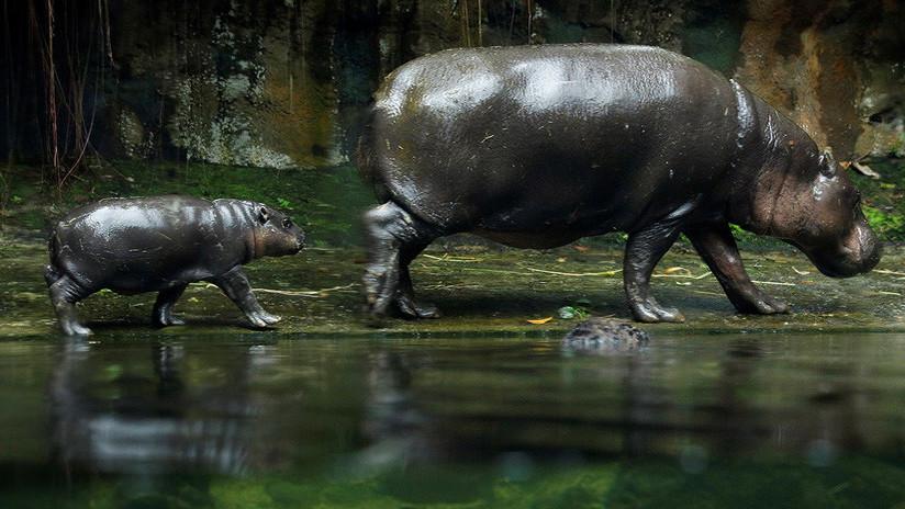 Así son 'los más pequeños' del Zoológico de Singapur