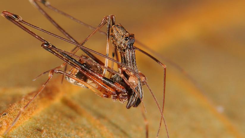 VIDEO, FOTOS: Encuentran 18 nuevas especies de araña con apariencia de pelícano