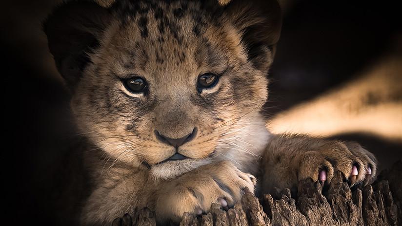 Un zoológico sueco mató a nueve cachorros de león sanos porque no encajaban en su manada