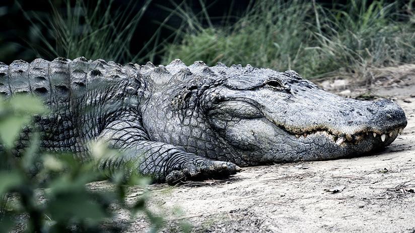 VIDEO: Un cocodrilo causa sensación al devorar un gran pez en una playa de Australia