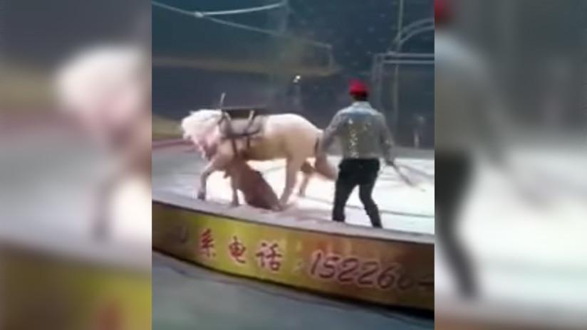VIDEO: Un tigre y una leona atacan a un caballo en plena función de un circo chino