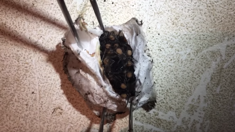175 arañas mortales salen del huevo (VIDEO)