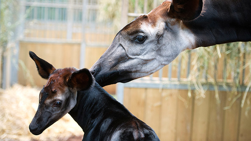 El zoológico de Londres bautiza a una okapi con el nombre de la novia del príncipe Enrique de Gales
