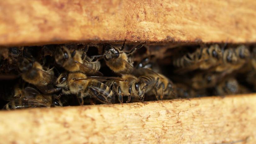 'Apicidio' en masa: Masacran en California a 200.000 abejas rusas e italianas