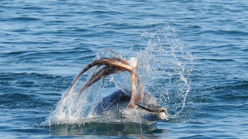Caso sin precedentes: Un pulpo gigante mata por asfixia a un delfín  (FOTO)