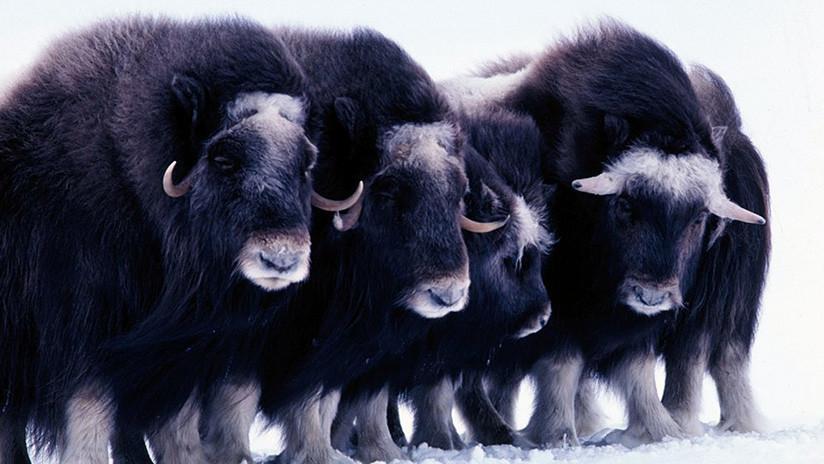 """Un aterrador """"tsunami de hielo"""" sepulta con vida a una manada de misteriosos animales en Alaska"""