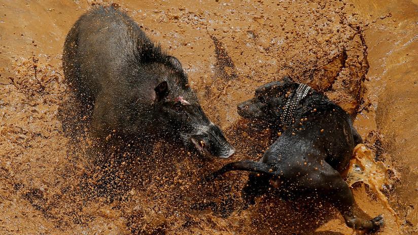 FOTOS: Así son las sangrientas peleas hasta la muerte entre perros y jabalíes en Indonesia