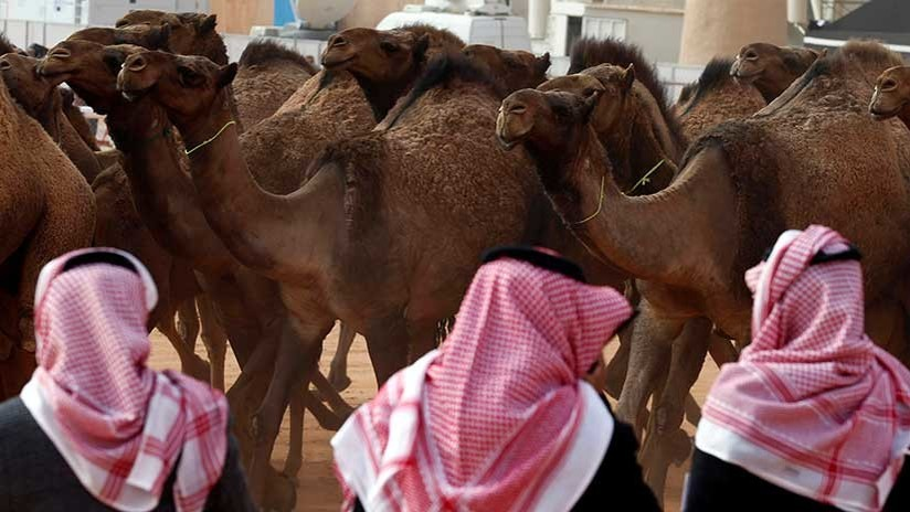 Descalifican a doce camellos de un concurso de belleza en Arabia Saudita por llevar botox