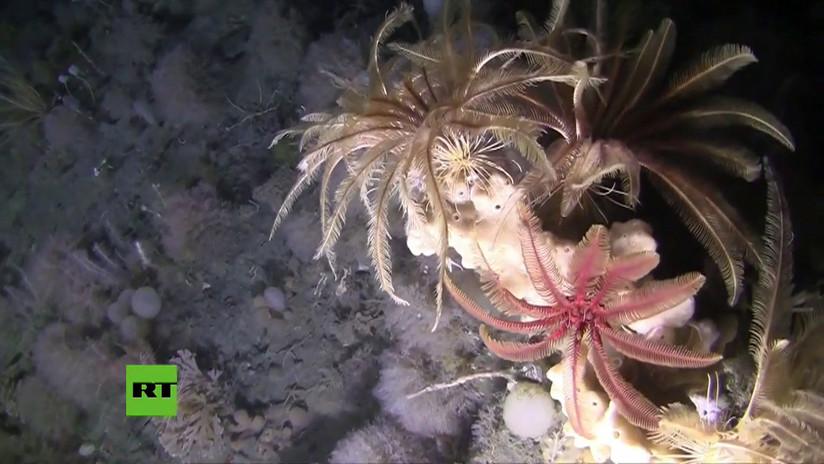 ¿Qué vida alberga el fondo del océano Antártico? Greenpeace publica un espectacular video