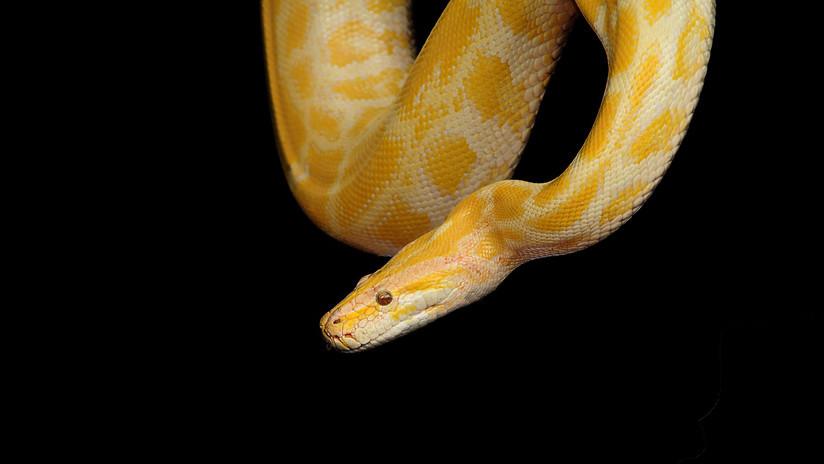 Hombre es asesinado por la serpiente que tenía de mascota