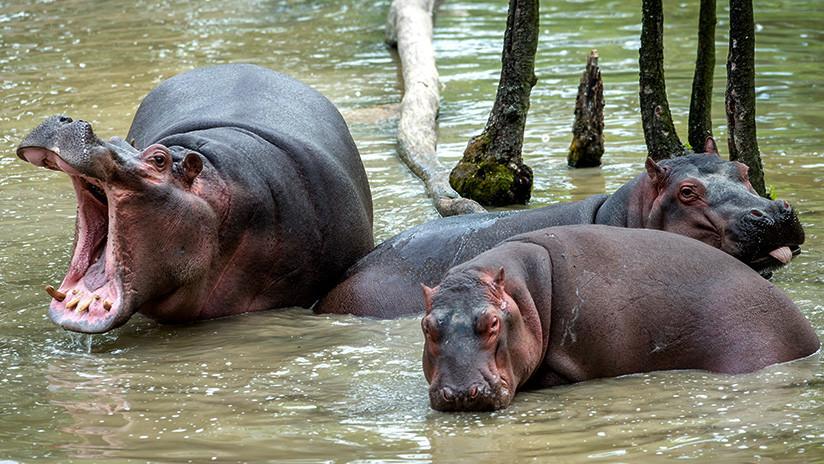 Los 40 hipopótamos de Pablo Escobar: el pesado legado del capo que amenaza con aplastar a Colombia