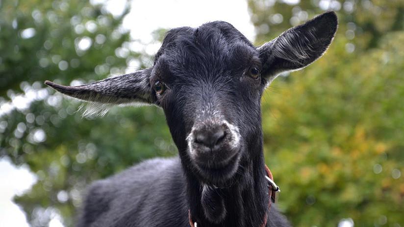Lo acusan de transformar a un hombre en una cabra y le dan una paliza por ello